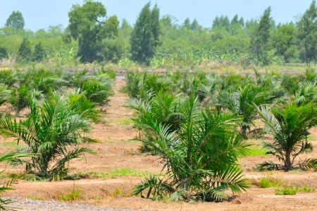 Palm oil plantation,Thailand photo