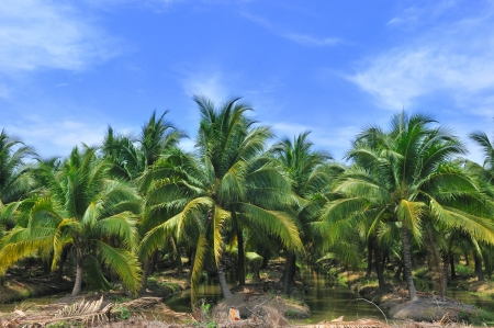 Palm oil plantation with blue sky,Thailand photo