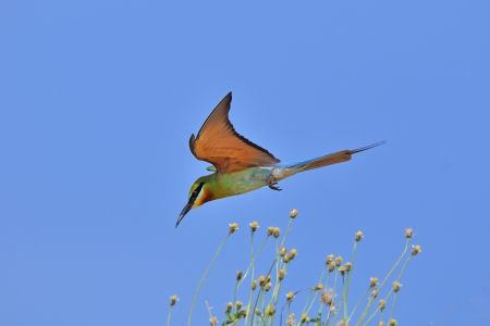 Flying Bird  Blue-tailed Bee-eater  photo
