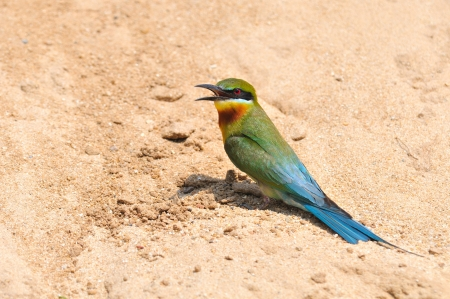 Blue Tailed Bee Eater Migration Bird Blue-tailed Bee-eater