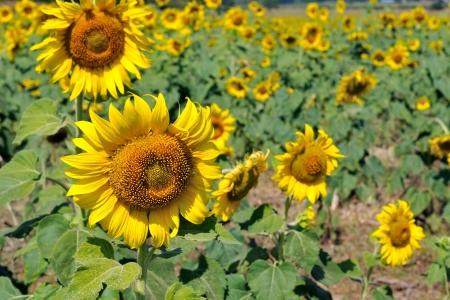 Beautiful sunflowers photo