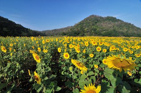 Beautiful sunflowers in the field with bright blue sky Stock Photo - 13680325