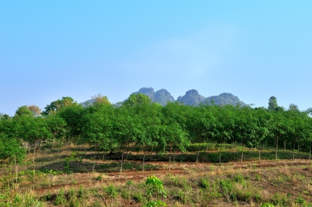 Young rubber trees plantation   photo