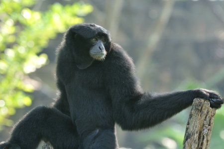 staunch: Siamang on the tree ,Thailand