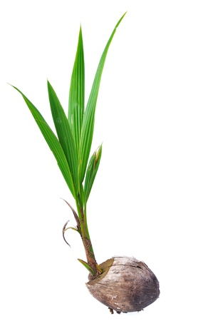 coconut seedlings: Sprout of coconut tree isolated on white background
