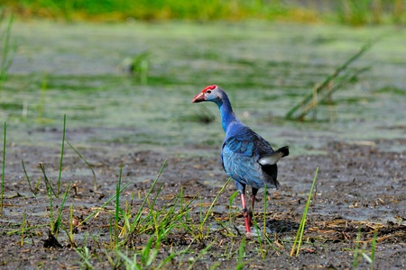 purple swamphen:  Bird  Purple Swamphen ,Thailand