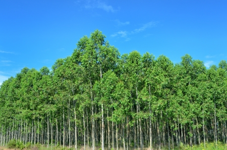 The Plantation of Eucalyptus for paper industry with blue sky photo