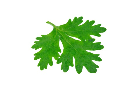 Fresh coriander or cilantro leaves isolated on white background photo
