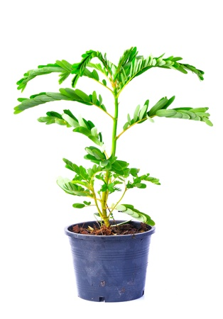 nervure: Small tree in black pot isolated on white