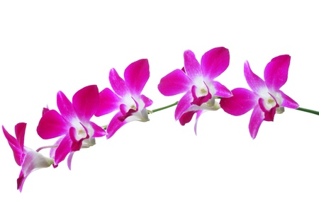 Purple orchid isolated on white background Stock Photo - 15061108