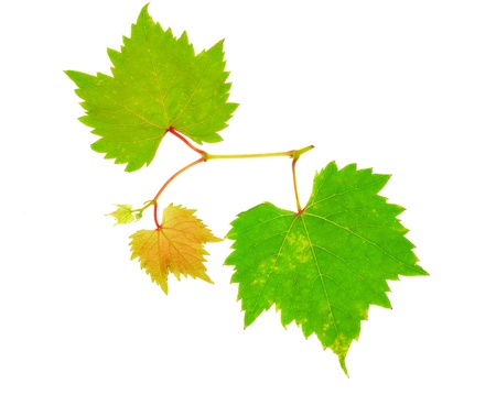 Grape leaves isolated on white background photo