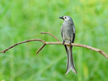 ashy:  Bird  Ashy drongo  , Thailand Stock Photo