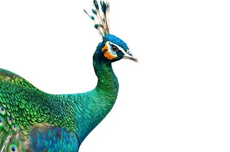 pavo real: Peacock aislado en el fondo blanco Foto de archivo
