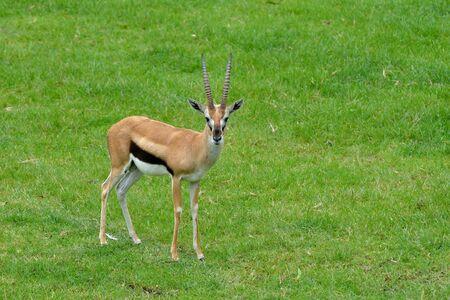 nukuru: Gazelle on grass Stock Photo