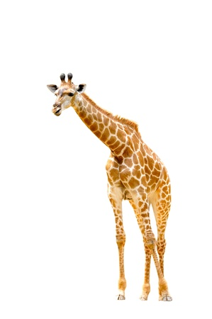 youngly: giraffes isolated on white background Stock Photo