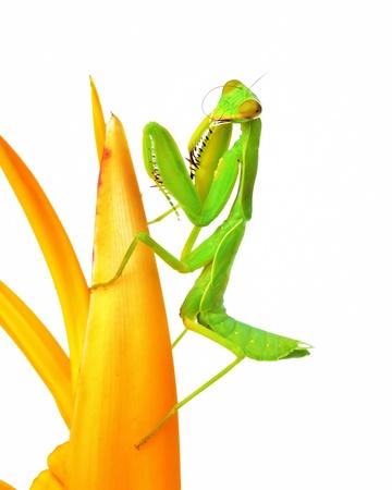 Grasshopper isolated on white background photo