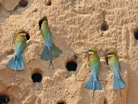 Group of Blue-tailed Bee-eater,Thailand photo