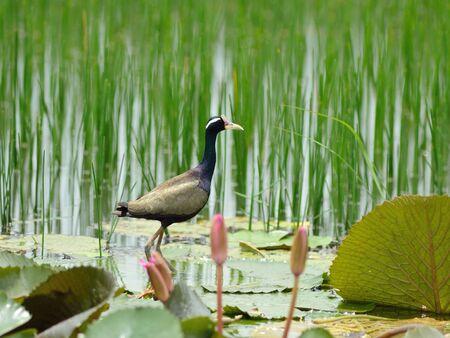 jacana: Bronze-winged jacana Stock Photo