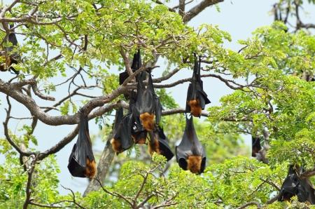 genitals: hanging bats Stock Photo