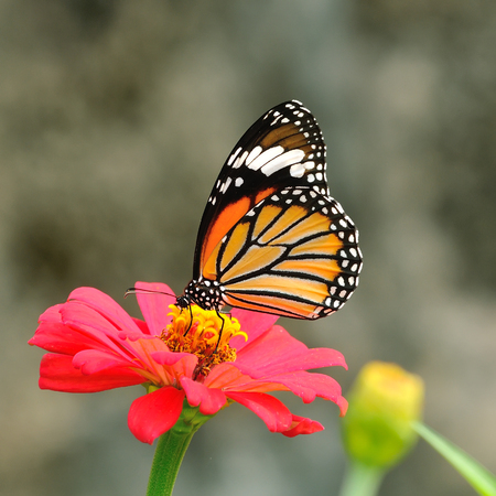 Butterfly  Common Tiger