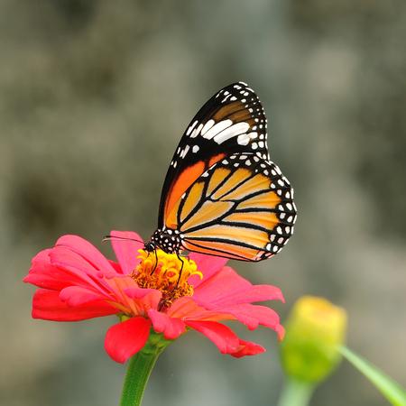 mariposas volando: Butterfly Tiger Com?n