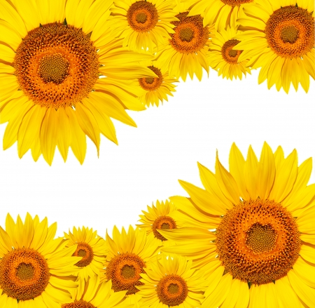 Gorgeous sunflower with green leaves isolated on white background photo