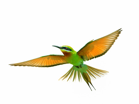 tropical bird: Blue-tailed Bee-eater in flight isolated on white background