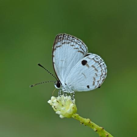 quaker: Butterfly  Common Quaker  , Thailand