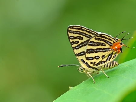 silverline: Butterfly  Small Long-banded Silverline  , Thailand Stock Photo