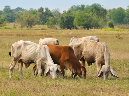 Asian bloodline cow in tropical field photo