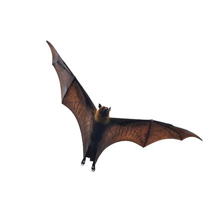 fly black: flying fox - huge bat isolated on white background Stock Photo