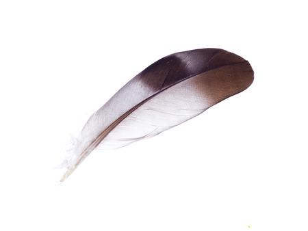 Eagle feather isolated on white background Фото со стока