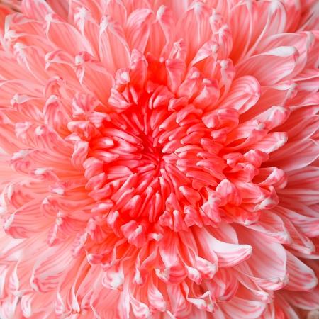 lindi: beautiful pink chrysanthemum flower Stock Photo