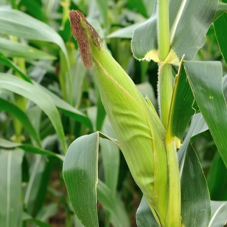 corn rows: Corn field , Thailand