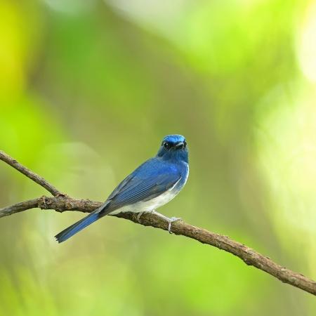 Bird  Hainan Blue Flycatcher  , Thailand Imagens