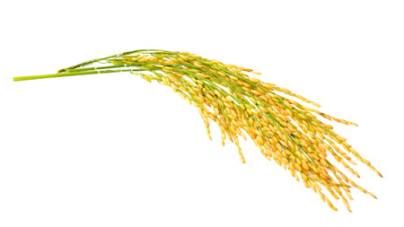 Paddy rice isolated on white Stock Photo