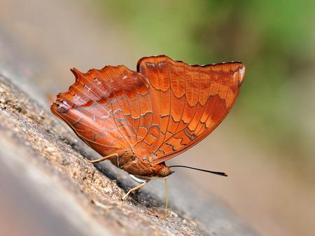 rajah: Butterfly  Tawny Rajah  , Thailand