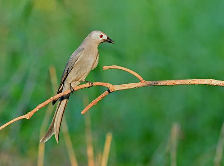 ashy: Bird  Ashy drongo  , Thailand
