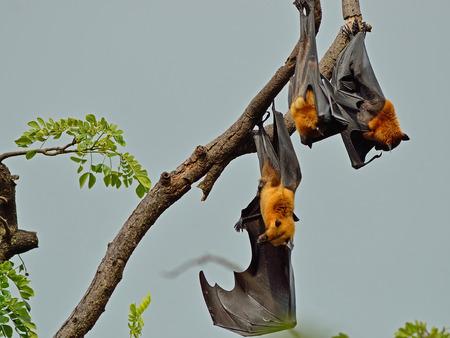 genitali: Volare fox pipistrello Archivio Fotografico