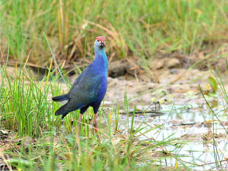 purple swamphen: Bird  Purple Swamphen ,Thailand Stock Photo