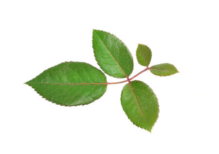 rose tree: rose leaves isolated on white background