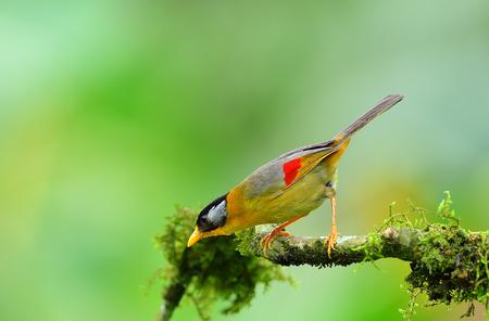 mesia: Bird (Silver-eared Mesia) , Thailand