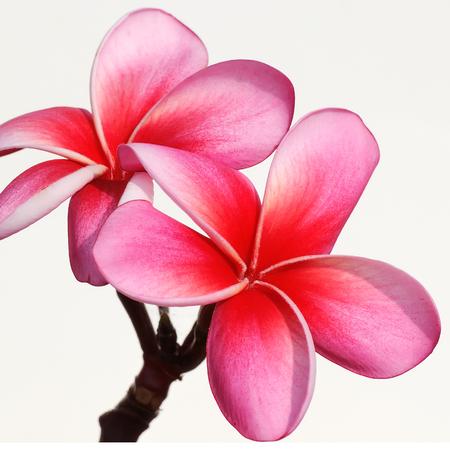 frangipani flowers on the background photo