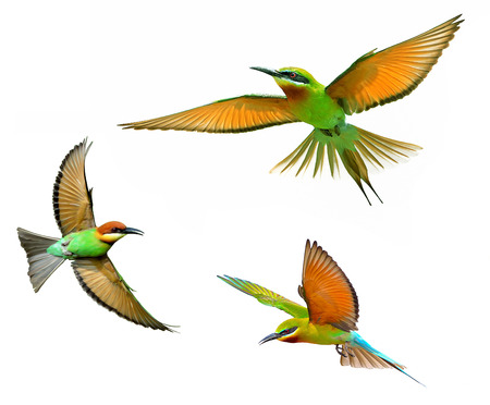 bird: Blue-tailed Bee-eater in flight isolated on white background