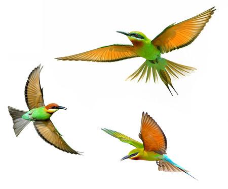 aves: De Cola Azul Abejaruco en vuelo aisladas sobre fondo blanco
