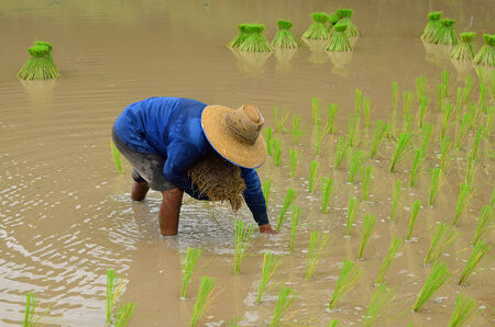 non cultivated: Rice farmers on rice field in Thailand Stock Photo