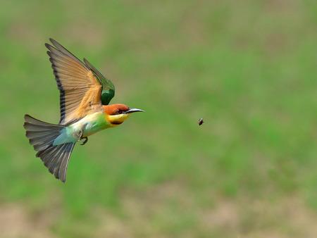 fly black: Bird (Chestnut-headed Bee-eaters) , Thailand