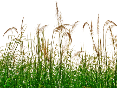 reeds of grass isolated on white background