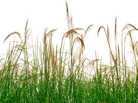 riet van het gras op een witte achtergrond Stockfoto