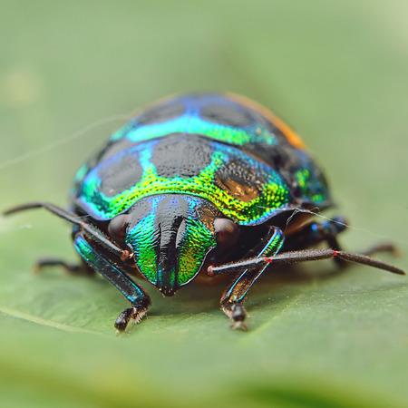 shurb: Bug (Chrysocoris stollii)